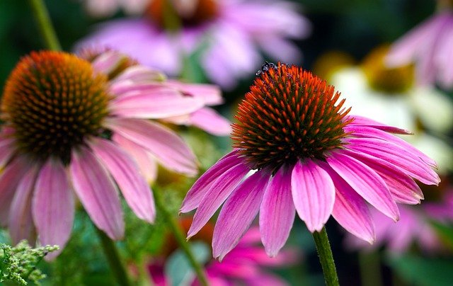 Échinacée en fleur : élixir floral élaboré selon les recommandations du docteur Bach.