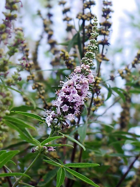 Gattilier en fleur : bienfaits et utilisation de l'hydrolat.