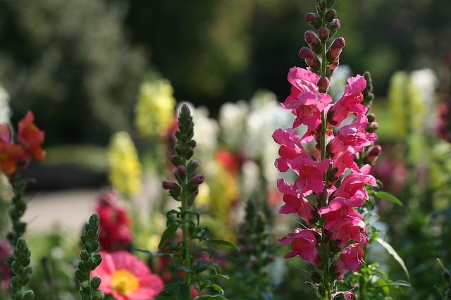 Antirrhinum latifolium ou Gueule de loup en fleur : élixir floral élaboré selon les recommandations du docteur Bach.