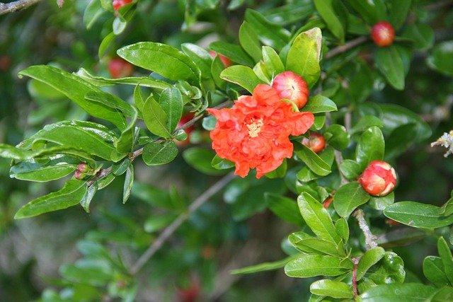 Grenadier en fleur : élixir floral élaboré selon les recommandations du docteur Bach.