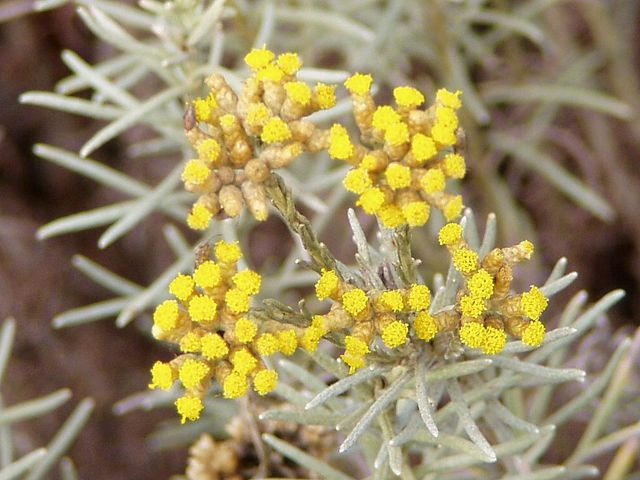 Hélichryse italienne en fleur : bienfaits de l'hydrolat.