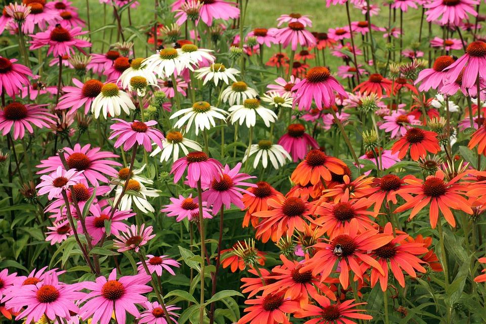 Fleurs d'échinacée pourpre : bienfaits et utilisation de l'hydrolat.