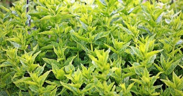 Menthe verte : bienfaits et utilisation de l'hydrolat.