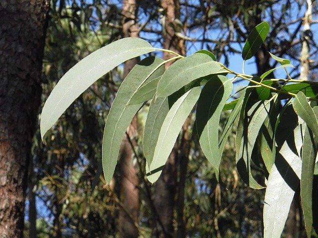 Feuilles d'eucalyptus : leurs bienfaits et utilisation.