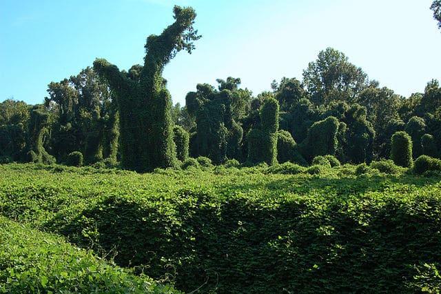 Kudzu qui recouvre un champ : bienfaits, posologie et danger de cette plante.