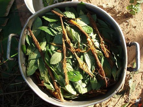Préparation de plantes pour l'ayahuasca : effets et danger de ce breuvage.