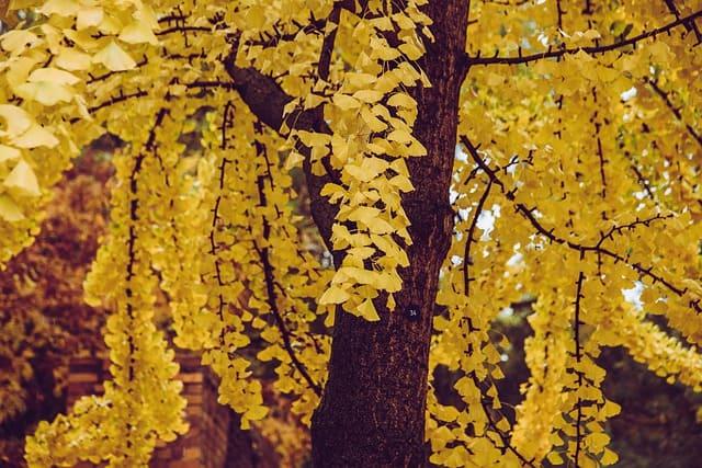 Ginkgo biloba : bienfaits, dosage et danger de ses feuilles.