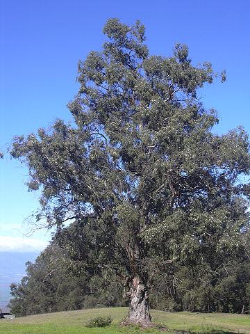 Eucalyptus globuleux : bienfaits et utilisation de l'hydrolat.