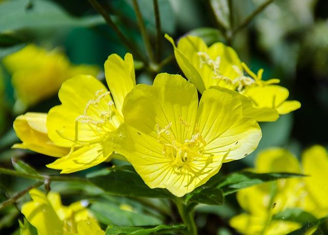Onagre en fleur : bienfaits et effets secondaires de l'huile.
