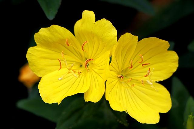Fleurs d'onagre : son huile s'associe très bien à la bourrache.
