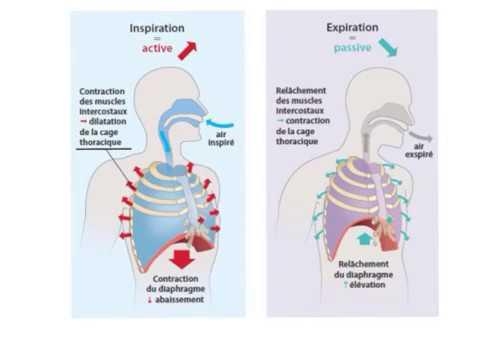Image représentant la respiration  profonde par le diaphragme, idéale pour lutter contre les jambes lourdes.
