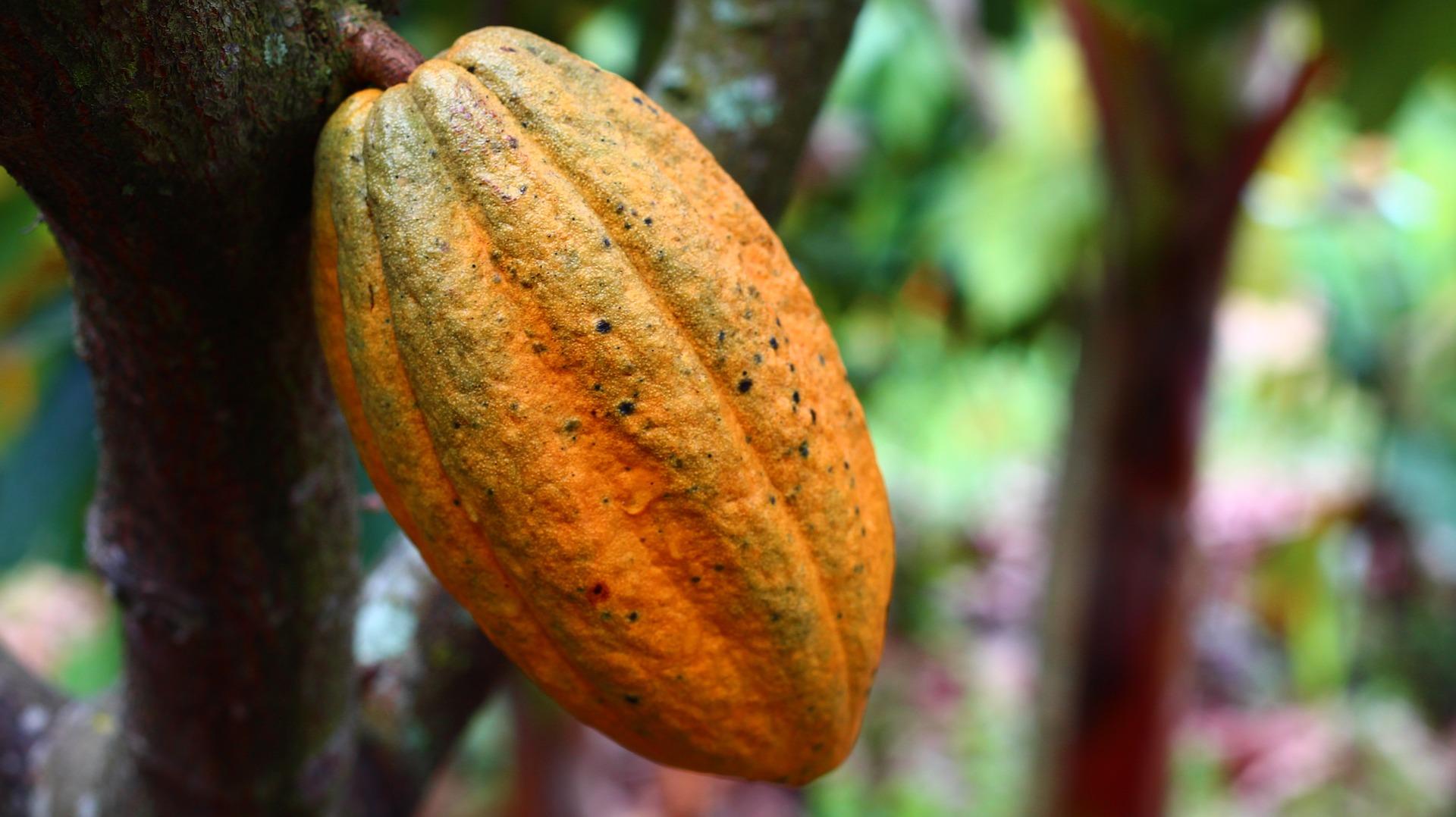 Le cacao cru, extrait de la cabosse de cacaoyer, bienfaits et danger.