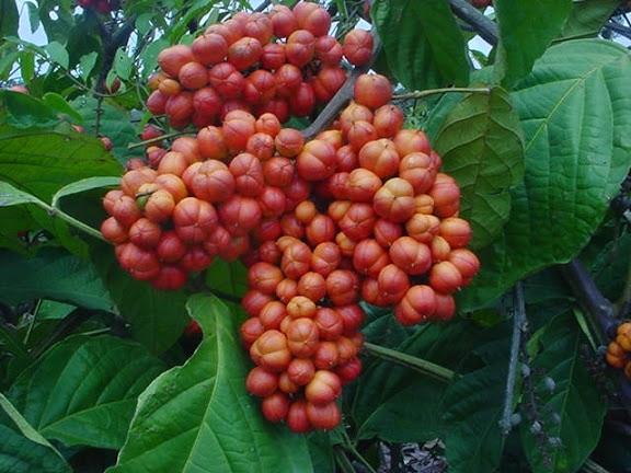 Fruits du guarana : bienfaits, dosage et danger de cette plante.
