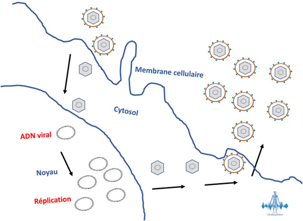 Schéma représentant la réplication de HSV-2.