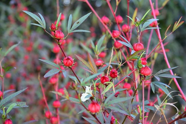 Hibiscus: bienfaits et danger de cette plante.