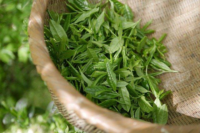 Thé vert tout juste cueilli : bienfaits et danger.