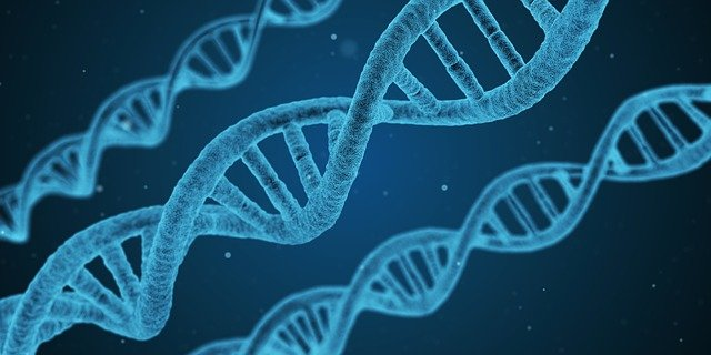 ADN : les fragments ARN stimulent la synthèse de l'ADN.