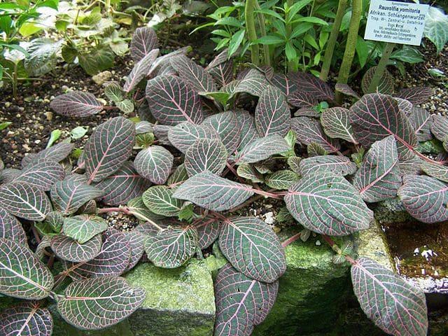 Rauwolfia vomitoria : vertus et effets secondaires de la plante.