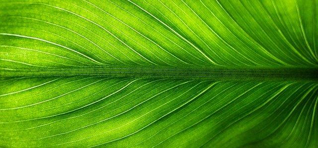 Feuille de Pao pereira, bienfais et effets secondaires de cette plante.
