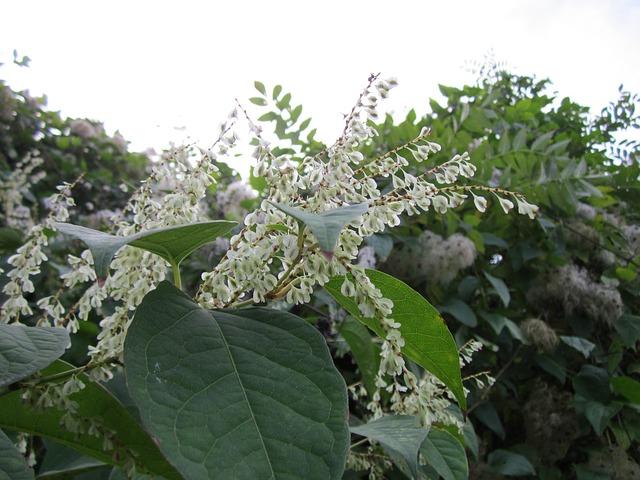 Fo-ti (Fallopia ou Polygonum multiflora) en fleur: bienfaits de cette plante.
