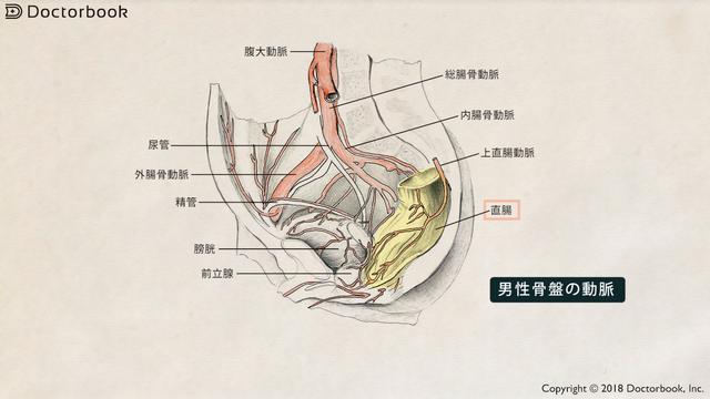 男性骨盤の動脈