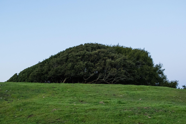 Bolinas Ridge Trail, Tree
