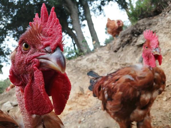 Vente de poulets élevés en plein air au grain biologique