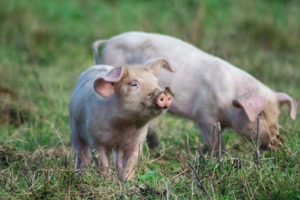 colis de porc celte élevé en plein-air