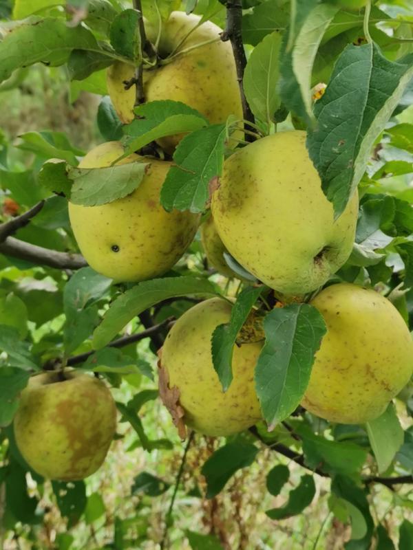 pommes goldrush bio pour compote