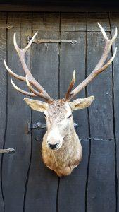 Rothirsch 10 Ender  - Ausgestopft - Tierpräparation - Taxidermy