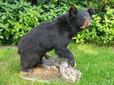 Schwarzbär - Ausgestopft - Tierpräparation - Taxidermy