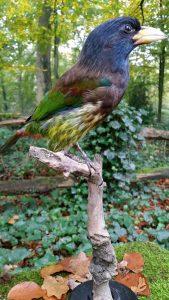 Grote Baardvogel - opgezet - preparaat - taxidermy