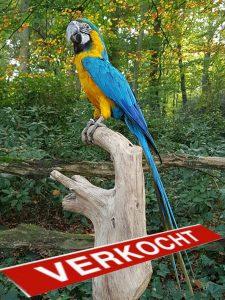 Ara Blau-Gelbe - Ausgestopft - Tierpräparation - Präparat - Taxidermy