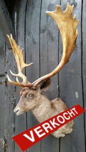 Damhirsch-Hirsch - Ausgestopft - Tierpräparation - Taxidermy