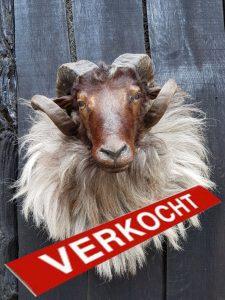 Schaf aus Drenthe - Niederlande - Ausgestopft - Tierpräparation - Taxidermy - Präparat