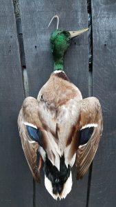 Eend voor Wildkroon - opgezet - geprepareerd - taxidermy