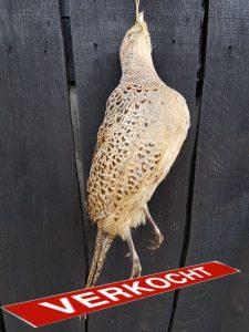 Fazant Hen voor Wildkroon - opgezet - geprepareerd - taxidermy