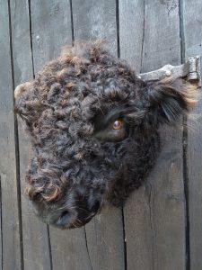 Galloway Kuh Kopf  Ausgestopft - Tierpräparation - Taxidermy
