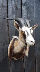 Ziegenkopf - Ausgestopft - Tierpräparation - Taxidermy - Präparat