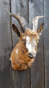 Hausziege - Ausgestopft - Tierpräparation - Taxidermy - Präparat