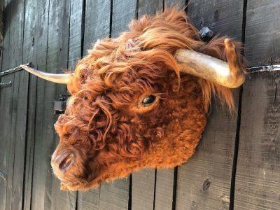 Schottischen Highlander Bulle - Ausgestopft - Tierpräparation - Taxidermy
