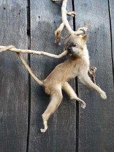 Javaneraffe oder Langschwanzmakak - Ausgestopft - Tierpräparation - Taxidermy