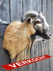 Kamerunschaf - Ausgestopft - Tierpräparation - Taxidermy