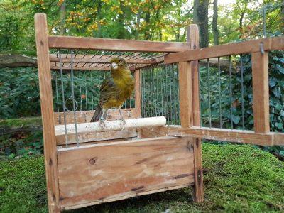 Sittich in alte Käfig - ausgestopft - tierpräparation - präparat - taxidermy