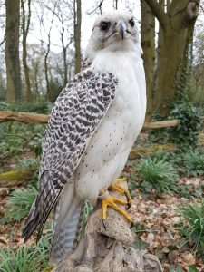 Kreuzung Lanner Falcon x Gerfalke Hybrid - Tierpräparation - Präparat - Taxidermy