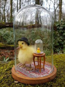 Eendje Taxidermy `Duck vs Duck` - geprepareerd - taxidermy