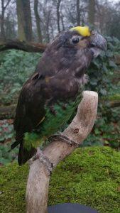Meyer Papagei - Ausgestopft - Tierpräparation - Präparat - Taxidermy
