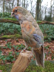 Plattschweifsittiche - Ausgestopft - Tierpräparation - Präparat - Taxidermy