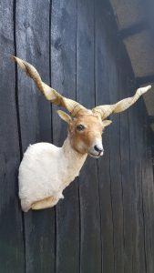 Ungarische Zackelschafe - Ausgestopft - Tierpräparation - Taxidermy - Präparat