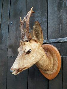 Rehbock Kopf - Ausgestopft - Tierpräparation - Taxidermy